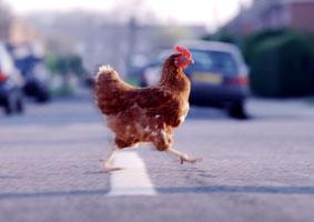 Porque la gallina cruzó la calle? (chiste)